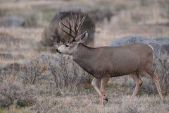 Dólar de los ciervos mula Imagen de archivo libre de regalías
