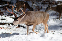 Dólar de los ciervos mula con las astas grandes en nieve Fotos de archivo