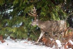 Dólar de los ciervos mula con las astas grandes en nieve Foto de archivo libre de regalías