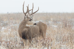 Dólar de los ciervos mula en nevada Fotografía de archivo libre de regalías
