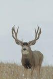 Dólar enorme de los ciervos mula fotos de archivo libres de regalías