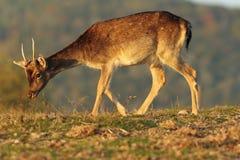Dólar joven de los ciervos en barbecho en luz hermosa Imagenes de archivo