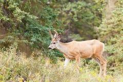 Dólar joven de los ciervos mula con las astas del terciopelo en taiga Imagen de archivo