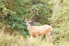 Dólar joven de los ciervos mula con las astas del terciopelo en taiga Foto de archivo