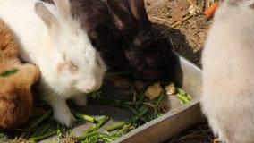 Dólar masculino del conejo que come así como la hembra, gama, gatito, equipo, conejitos metrajes