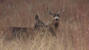 Dólar y gama de los ciervos de mula
