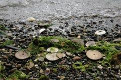 Dólares de areia excêntricos, Puget Sound, estado de Washington Foto de Stock Royalty Free