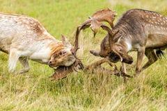 Dólares de los ciervos en barbecho en combate Foto de archivo
