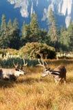 Dólares de los ciervos mula con las astas grandes Foto de archivo