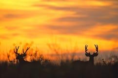 Dólares Silhoutted de los ciervos de mula en puesta del sol foto de archivo libre de regalías