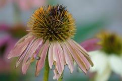 Dö blomman med rosa kronblad Royaltyfria Bilder