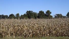 Dö cornfielden Arkivfoton