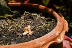 Dö ixora på trädkrukan Royaltyfri Fotografi