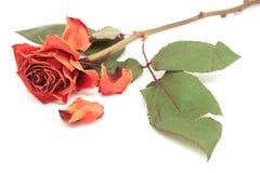 Dö rosa färgrosblom med tappade kronblad royaltyfri bild