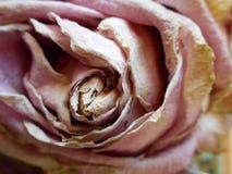 Dö rosa färgrosen Arkivbild
