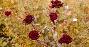 Dö rosegarden röda rosor in i höst