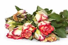 Dö rosor Royaltyfri Bild