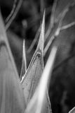 Död agaveväxt Arkivbild