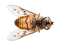 Död bi eller fluga som ligger på baksida i makro Royaltyfria Foton