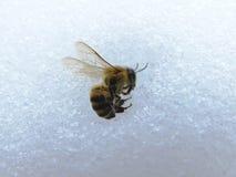 Död bi och snö på vintern Arkivfoton