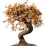 Död bonsaitree Arkivbilder