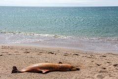 Död Bottlenosedelfin. Arkivbilder