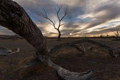 Död brand skadade träd, nära emufjärden, känguruön, södra Australien SA royaltyfri fotografi