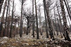död brandskog Arkivfoto