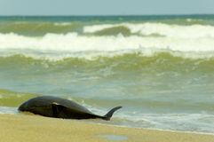 död delfin Royaltyfria Foton