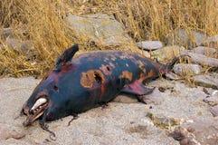 Död delfin som tvättas upp på en devon strand UK Royaltyfri Foto