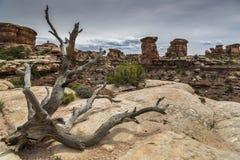 Död enträd och kanjon på Canyonlands i Utah Fotografering för Bildbyråer
