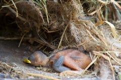 död fågelunge Arkivbilder