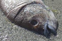 död fisk Arkivbilder
