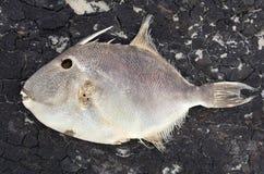 Död fisk Fotografering för Bildbyråer
