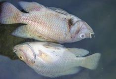 Död fisk Royaltyfri Fotografi