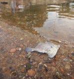 Död fisk i förorenad lerig strand royaltyfria foton
