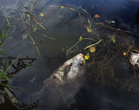 Död fisk i förorenat flodvatten Fotografering för Bildbyråer