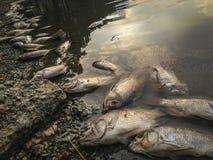 Död fisk på floden mörk vattenvattenförorening Royaltyfri Foto