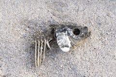 Död fisk på sanden på grund av torkan Fishbone på sanden royaltyfria foton
