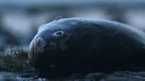 Död fisk som ligger på kusten, globala miljö- problem av förorening, closeup stock video