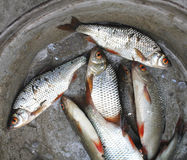 Död fisk upp Arkivfoton