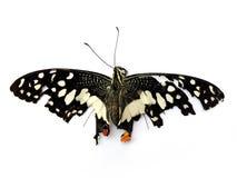 Död fjäril på vit bakgrund arkivbild