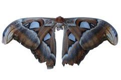 Död fjäril som isoleras på vit bakgrund Arkivfoto