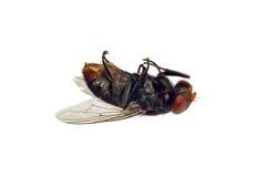 död fluga Arkivbild
