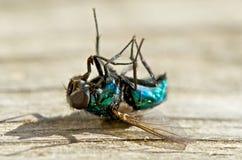 död fluga Fotografering för Bildbyråer