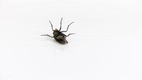 död fluga Arkivbilder