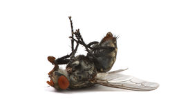 död fluga Arkivfoto