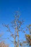 död gammal enkel tree Fotografering för Bildbyråer
