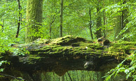 död gammal skogoak Royaltyfria Bilder