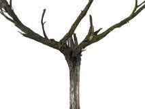 död gammal tree Arkivfoton